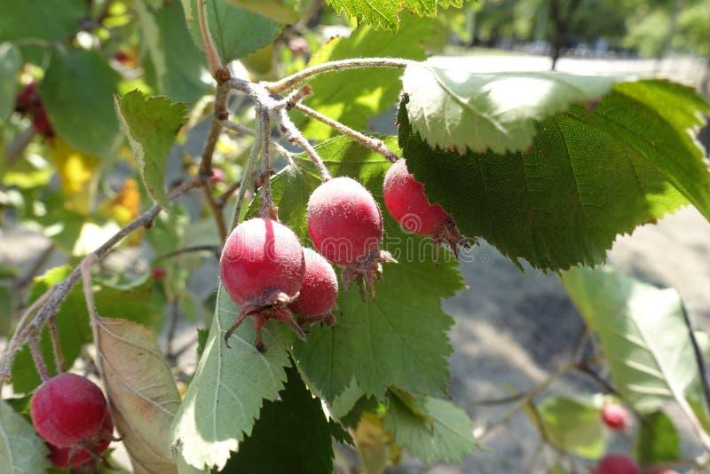 Czerwone jagody na gałąź głóg zdjęcia stock