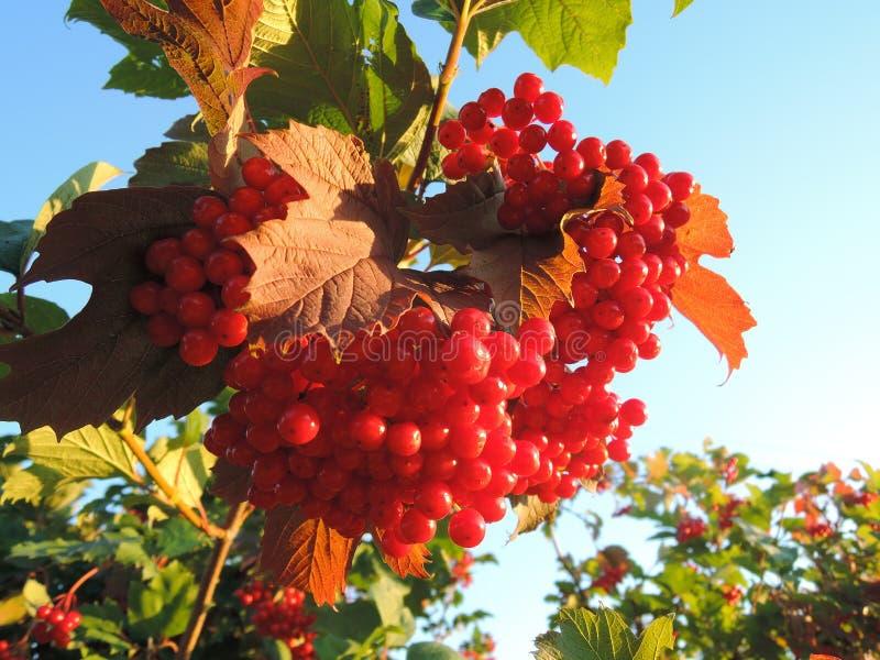 Czerwone jagody na gałąź z liśćmi obraz royalty free