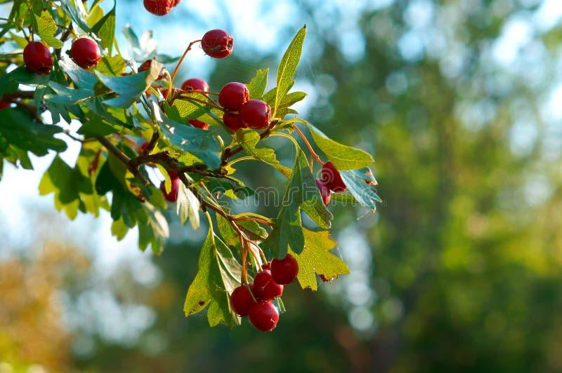 Czerwone jagody na gałąź z zielonymi liśćmi głóg obrazy royalty free