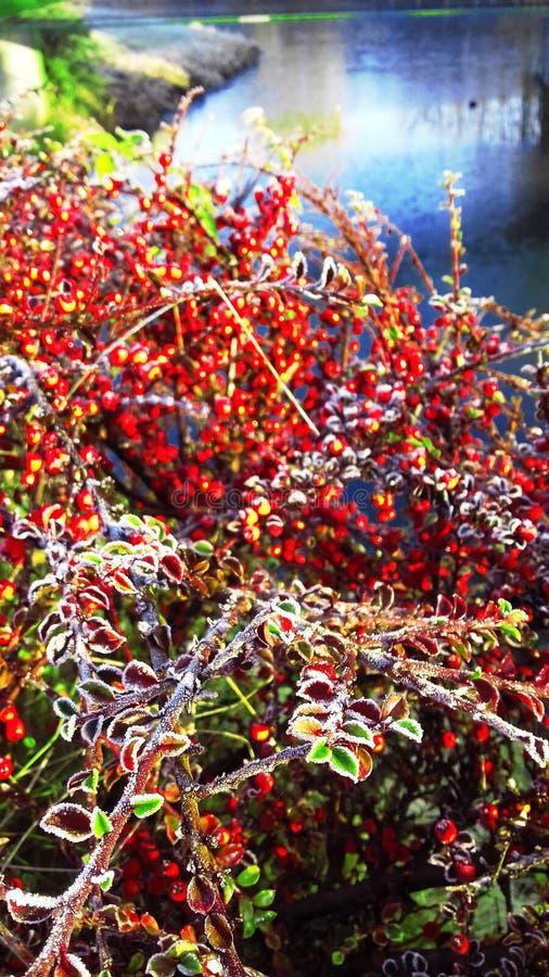 Czerwone jagody na jeziorze zdjęcia stock