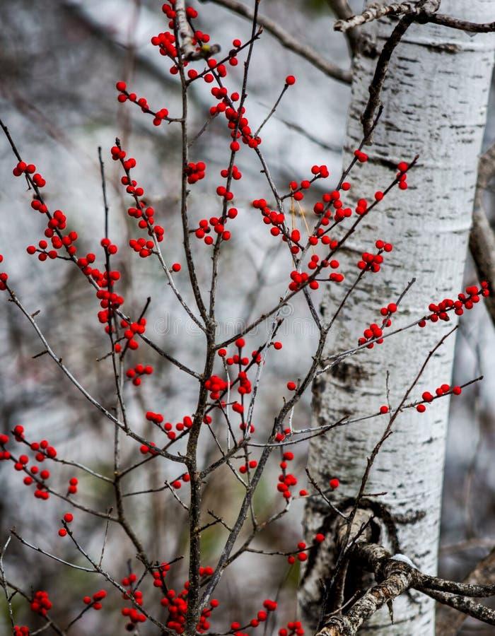 Czerwone jagody przed brzozy drzewem abstrakcjonistycznej jesienią jaskrawe kolory są czerwone liść ładna wzoru semi obrazy stock