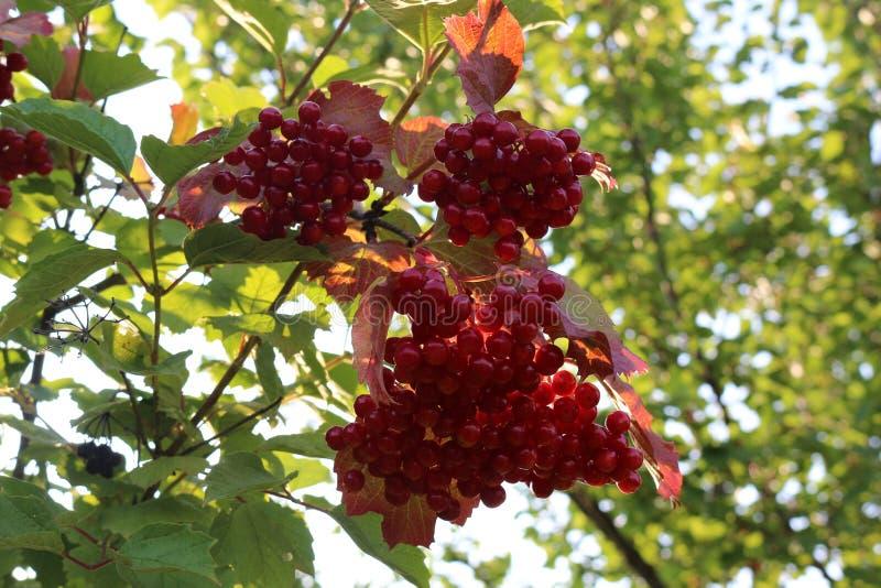 Czerwone jagody viburnum dojrzewali na krzaku w późnym lecie zdjęcie stock