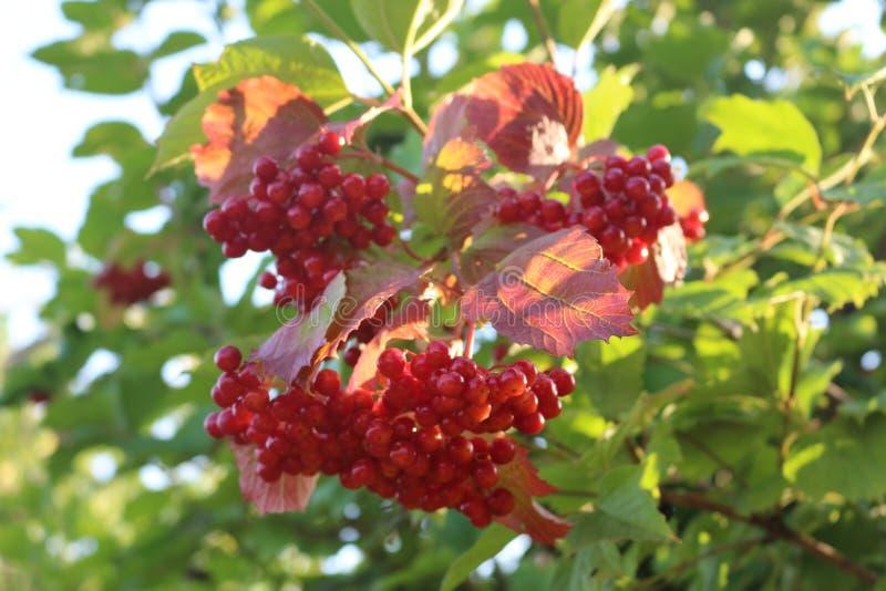 Czerwone jagody viburnum dojrzewali na krzaku w późnym lecie obraz stock