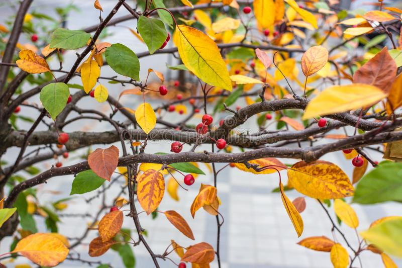Czerwone jagody wśród żółtego jesieni ulistnienia zdjęcie royalty free