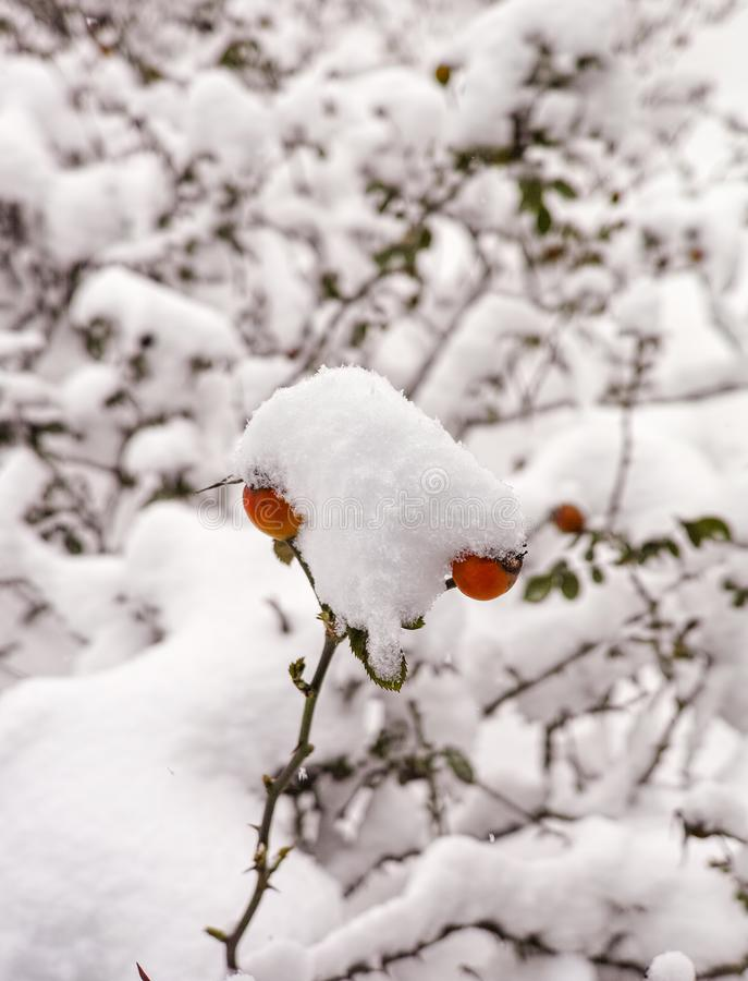 czerwone jagody zakrywać śniegiem róża zdjęcie royalty free