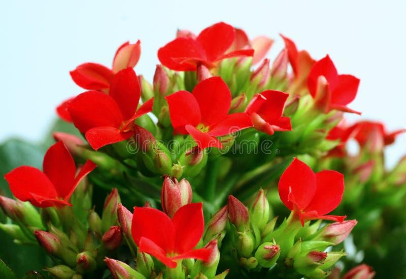 czerwone kalanchoes obraz stock