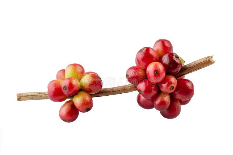 Czerwone kawowe fasole na gałąź kawowe drzewa, dojrzałych i niedojrzałych jagody odizolowywać, zdjęcia stock