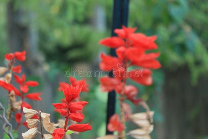 Czerwone kwiatonośne rośliny zdjęcie stock