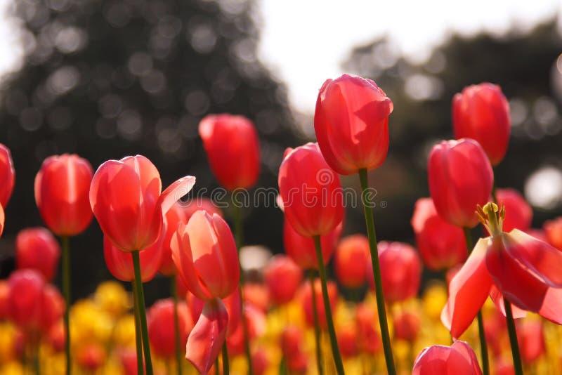 czerwone kwiatonośni tulipany fotografia stock