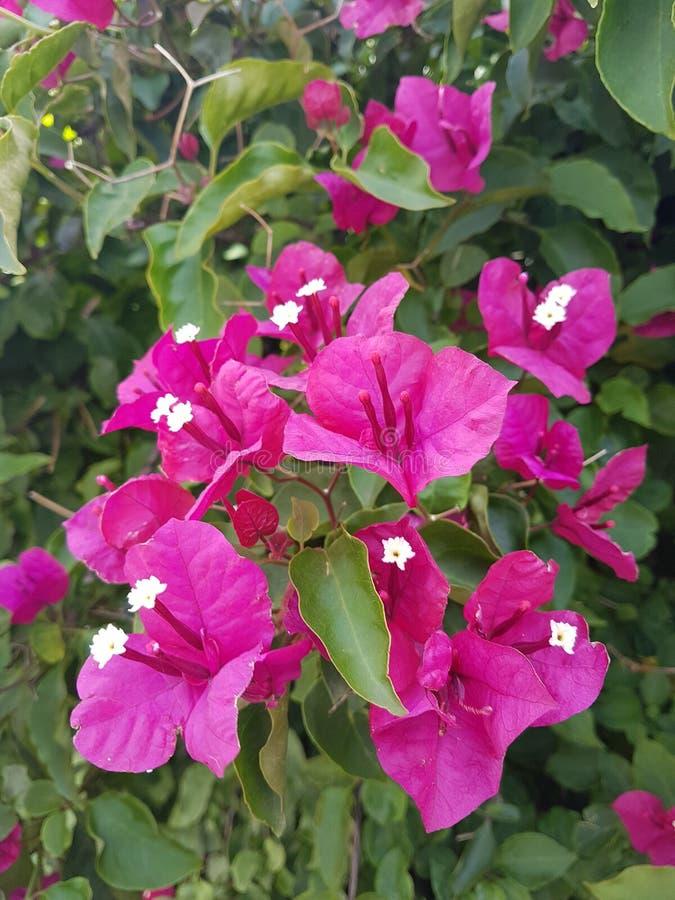 Czerwone kwiaty bugainvillea zdjęcia royalty free