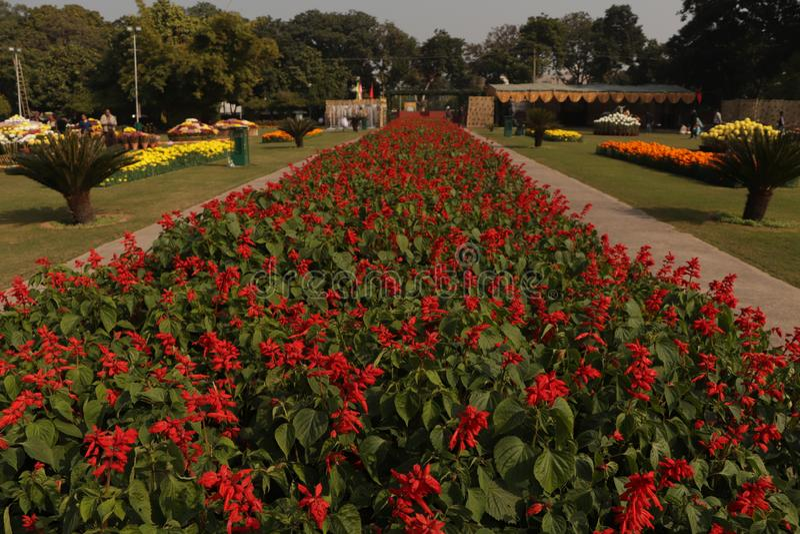 Czerwone kwiaty kwitną w Chandigarh fotografia royalty free