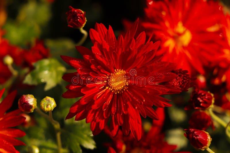 Czerwone kwiaty kwitną w Chandigarh zdjęcie stock