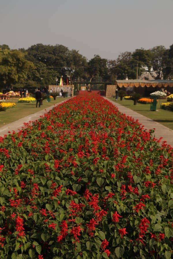 Czerwone kwiaty kwitną w Chandigarh obrazy royalty free