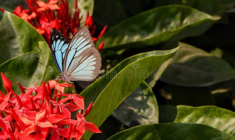 czerwone kwiaty motyla zdjęcie stock