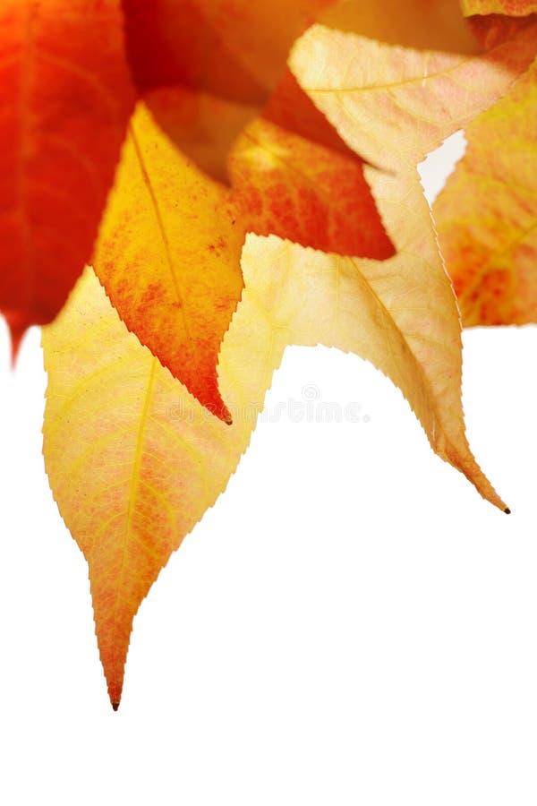 czerwone liście jesienią zdjęcie royalty free