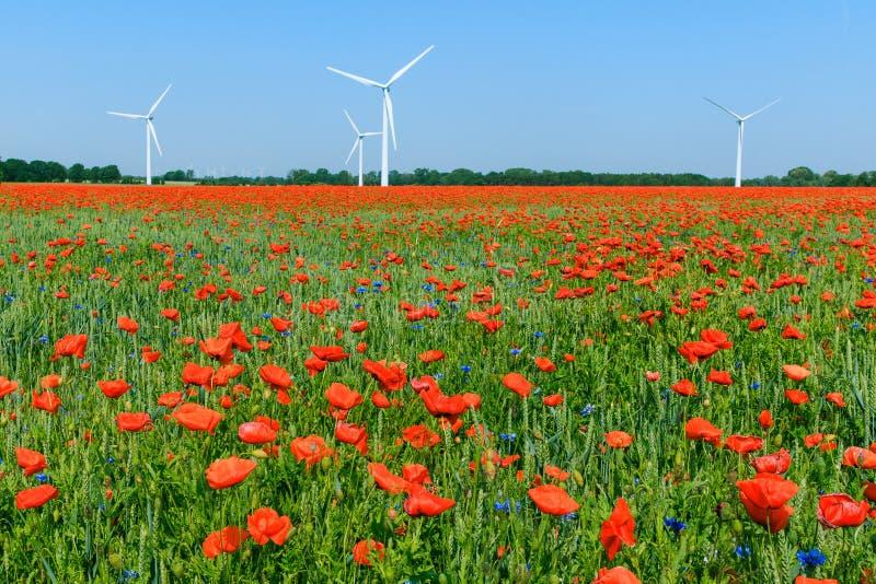 Czerwone maczek rośliny w kwiacie w polu uprawnym z niebieskim niebem i silnikami wiatrowymi zdjęcia royalty free