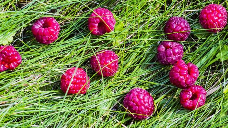 Czerwone malinki na zielonej trawie zdjęcia stock