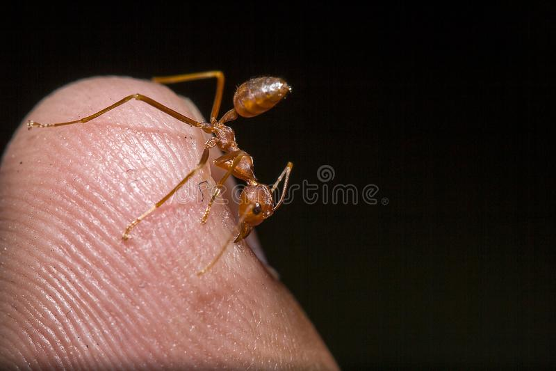 Czerwone mrówki na palcach fotografia stock
