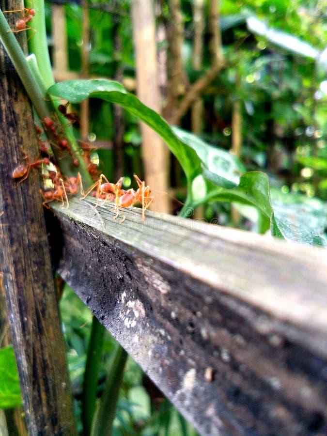 Czerwone mrówki obraz stock