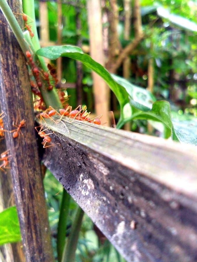 Czerwone mrówki fotografia stock