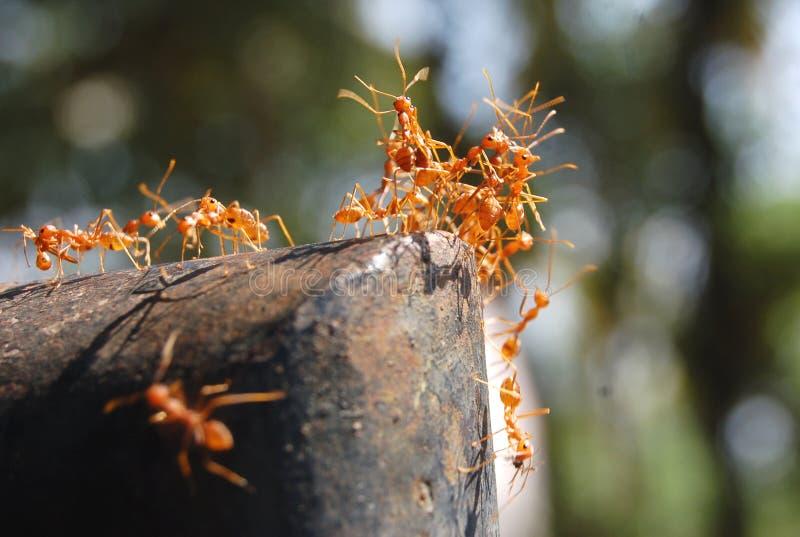 czerwone mrówki. zdjęcie stock