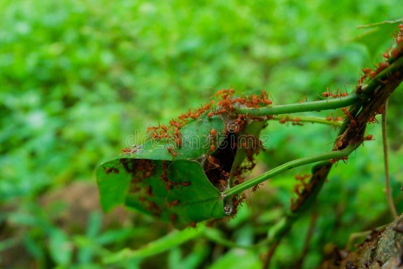 Czerwone mrówki robią gniazdeczkom z liśćmi, na zielonych roślinach zdjęcie stock