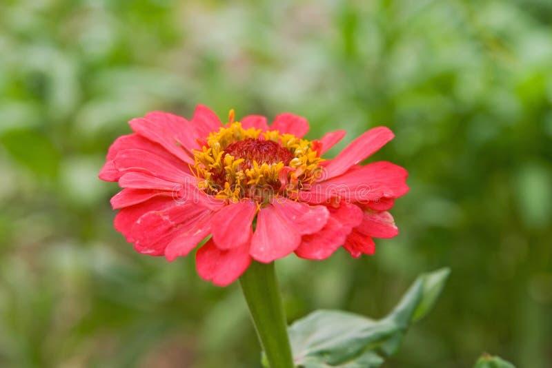 czerwone ogrodowe puszce fotografia royalty free