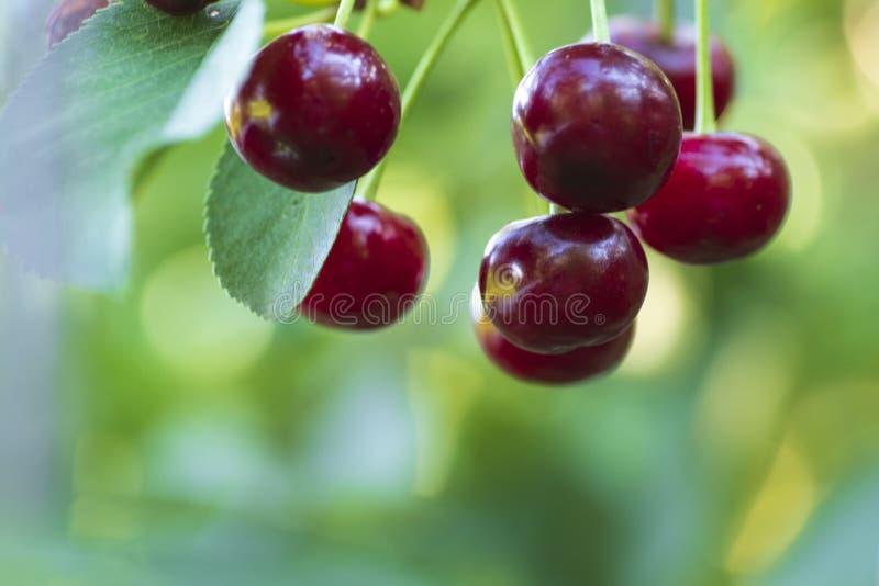 Czerwone organicznie wiśnie na gałąź czereśniowy drzewo, makro-, dojrzałe wiśnie na gałąź, obraz stock