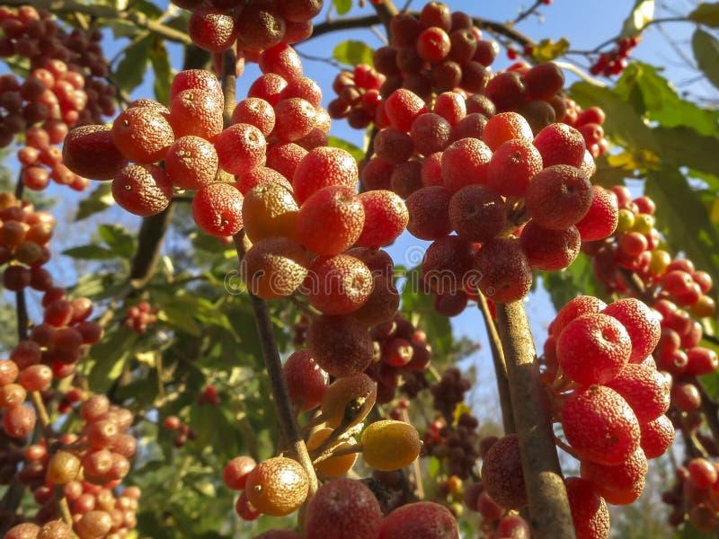 Czerwone owoc Elaeagnus umbellata przeciw tłu zielony ulistnienie krzak lub drzewo fotografia royalty free