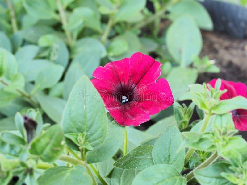 Czerwone pąki kwiatów petunii Florystyka Ogrodnictwo obraz royalty free