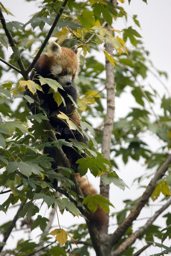 czerwone pandy drzewo fotografia royalty free