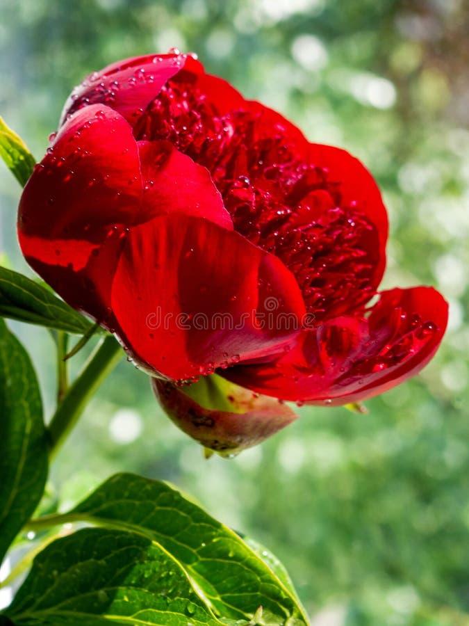 Czerwone peonie z wodnymi kroplami na zamazanym zielonym tle zdjęcia royalty free