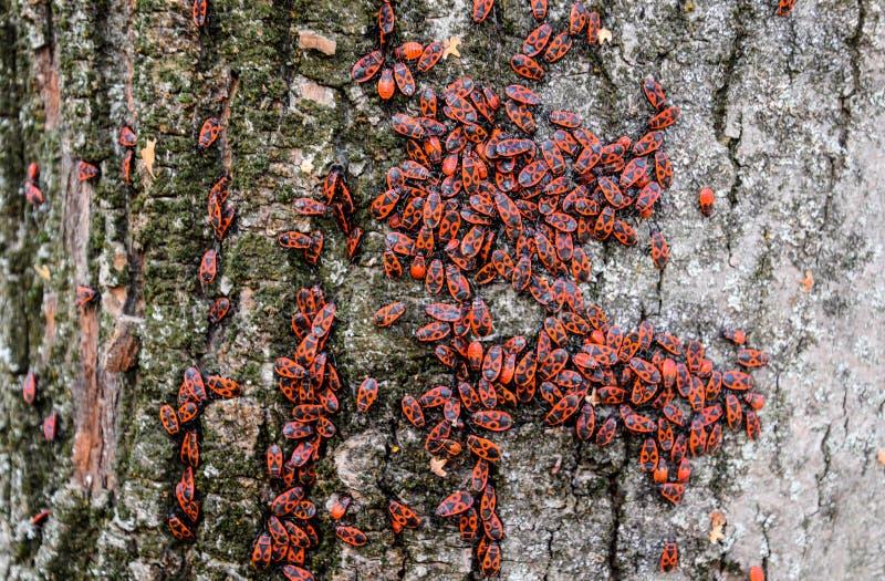 Czerwone pluskwy wygrzewaj? si? w s?o?cu na drzewnej barkentynie Jesień żołnierze dla obrazy royalty free