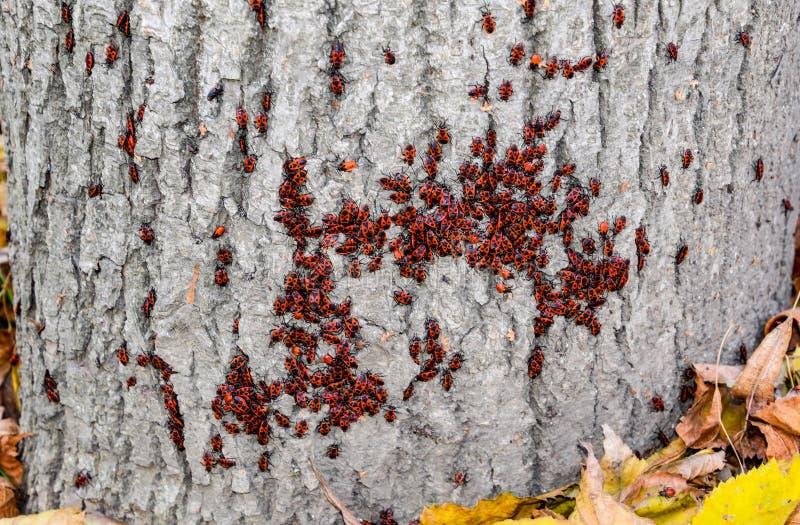 Czerwone pluskwy wygrzewaj? si? w s?o?cu na drzewnej barkentynie Jesień żołnierze dla zdjęcie stock