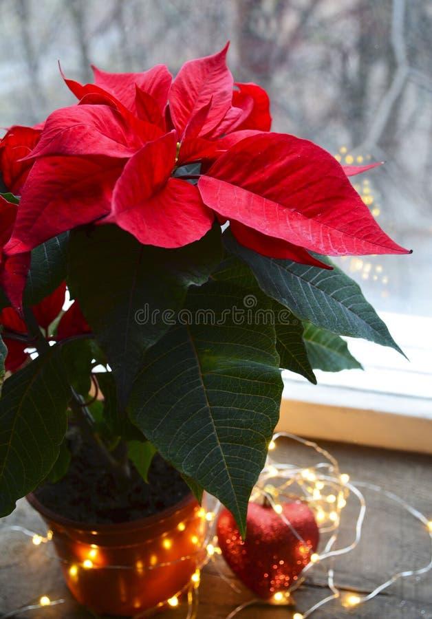 Czerwone poinsecj euforbie Pulcherrima w aflower garnku Bożenarodzeniowa dekoracja na okno z bożymi narodzeniami gra główna rolę  fotografia royalty free