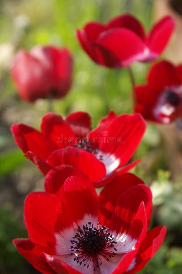 czerwone pole kwiatów fotografia royalty free