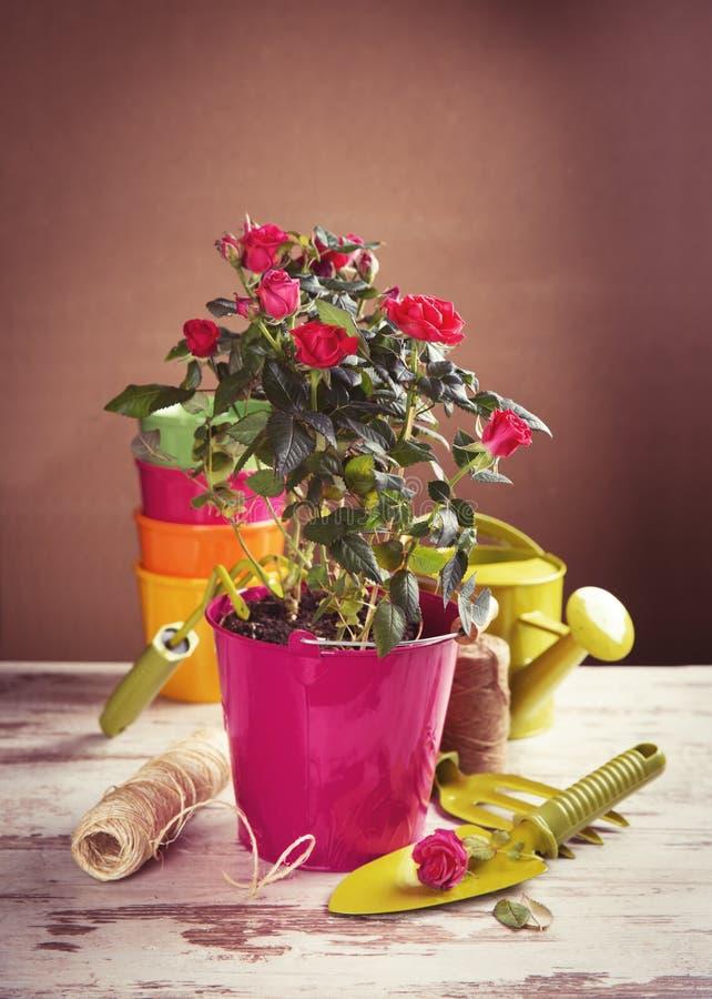 Czerwone róże kwitną z ogrodnictw narzędziami fotografia royalty free