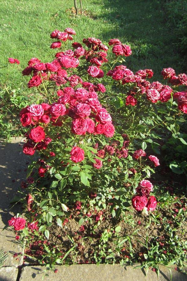 Czerwone róże na słonecznym dniu w mój frontowym jardzie Kragujevac, Serbia zdjęcia stock