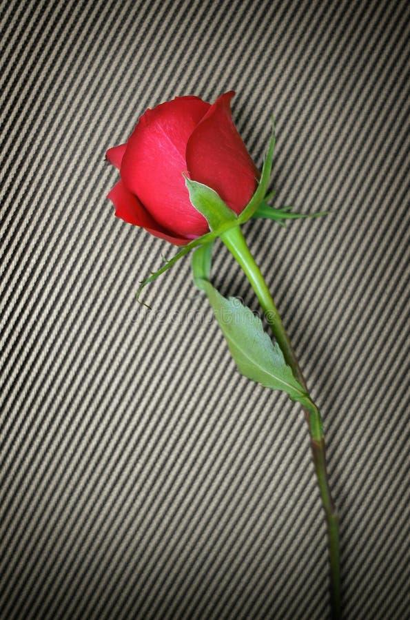 czerwone róże paski zdjęcia stock