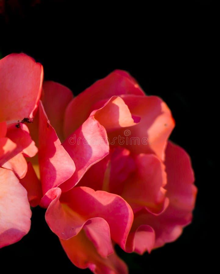 Czerwone róże przeciw czarnemu tłu zdjęcie stock