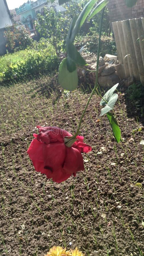 Czerwone róże rzucają zdjęcia royalty free