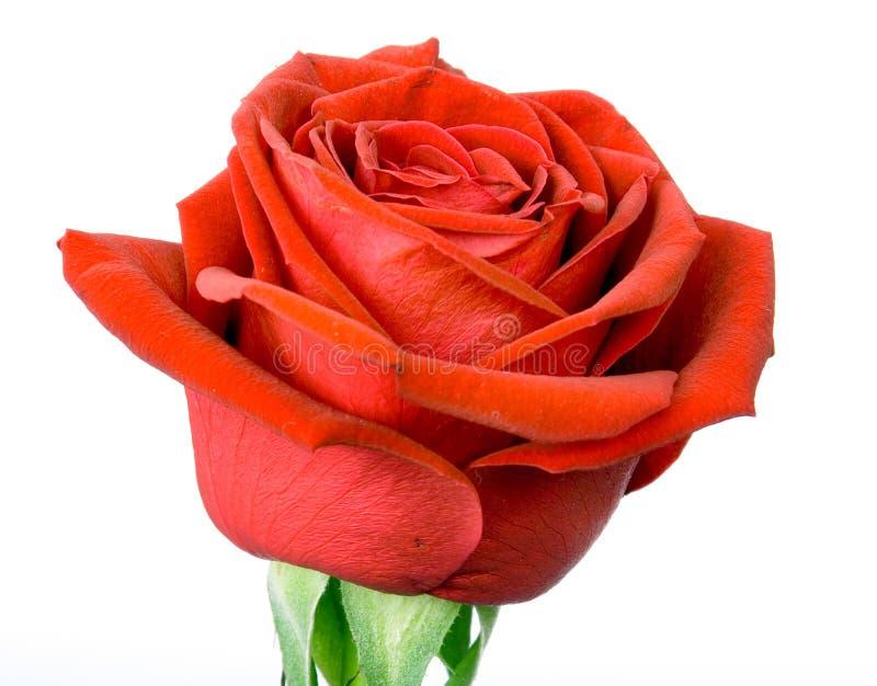 czerwone róże white zdjęcia stock