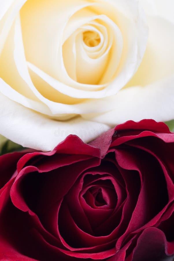 czerwone róże white fotografia stock