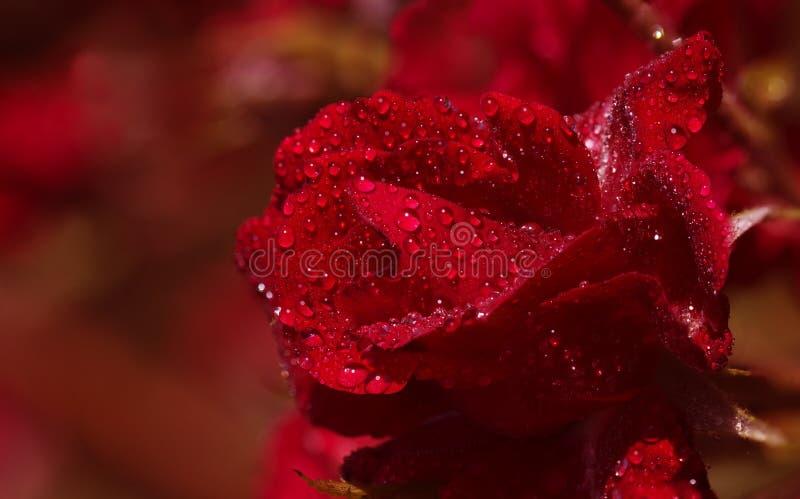 czerwone róże wiązek zdjęcia royalty free