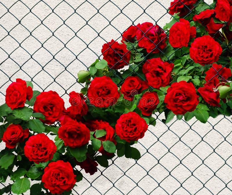 Czerwone róże wzdłuż drucianego ogrodzenia Różany arywista Don Juan zdjęcia stock