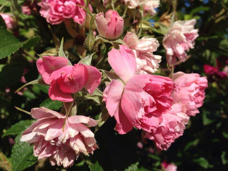 Download Czerwone róże obraz stock. Obraz złożonej z róże, wzrastał - 42525053