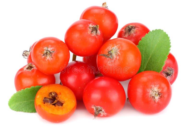 czerwone rowan jagody z zielonym liściem odizolowywającym na białym tle Makro- obrazy stock