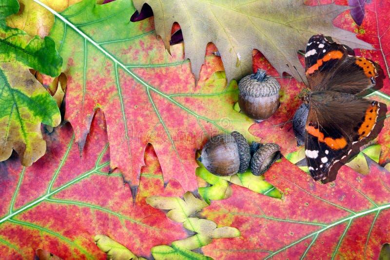 Czerwonego admiral motyl i jaskrawi czerwonego dębu liście acorn na dębowych liściach acorn w dębowym lesie obraz royalty free
