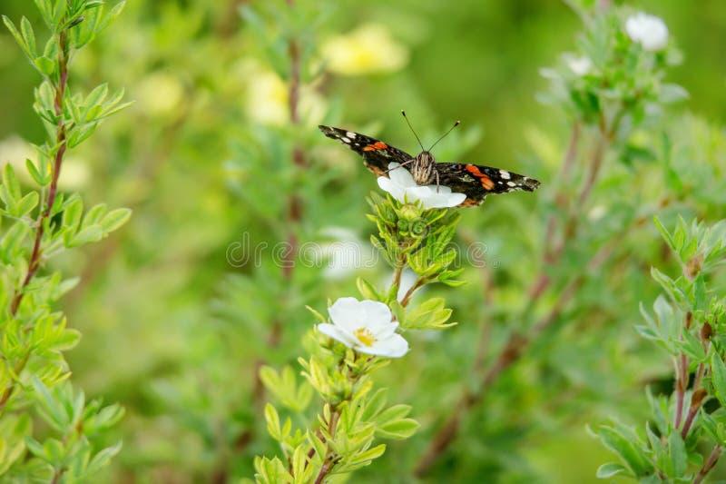 Czerwonego admiral motyl na białym kwiatonośnym krzewiastym pięciornika krzaku zdjęcia royalty free