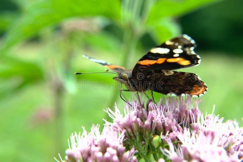 Czerwonego Admiral motyl na kwiacie zdjęcia royalty free